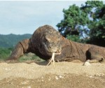 Komodo,Keajaban Dunia